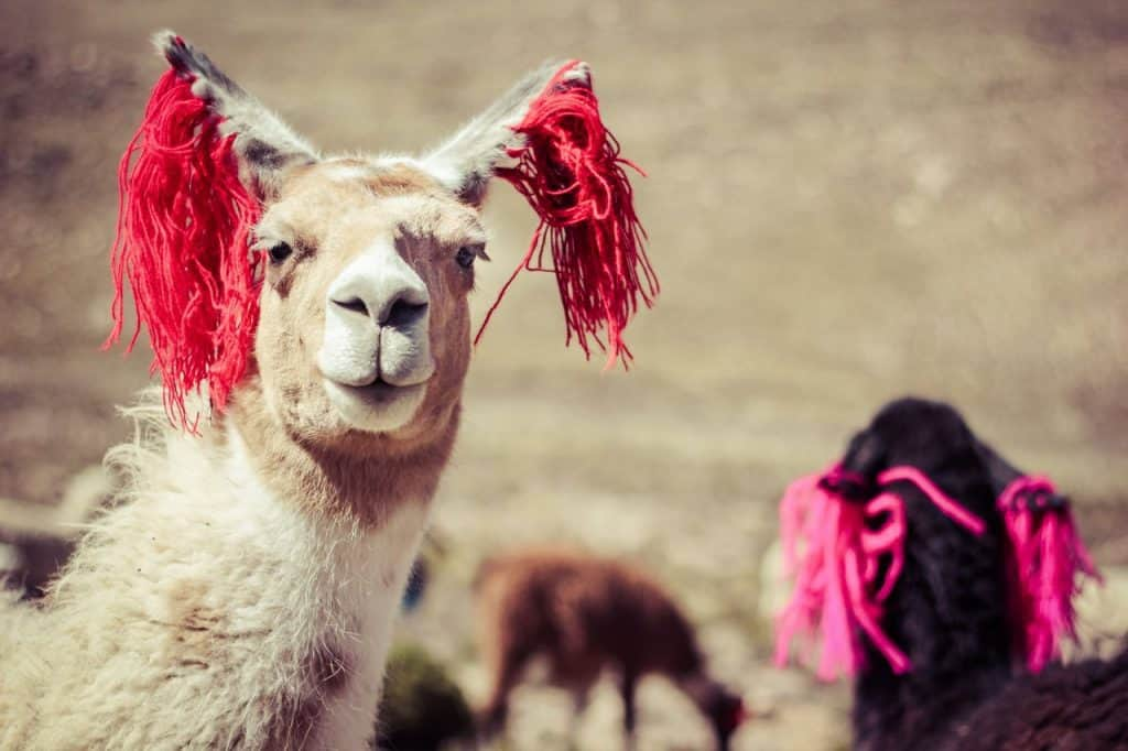 Poverty in Peru | Llamas image
