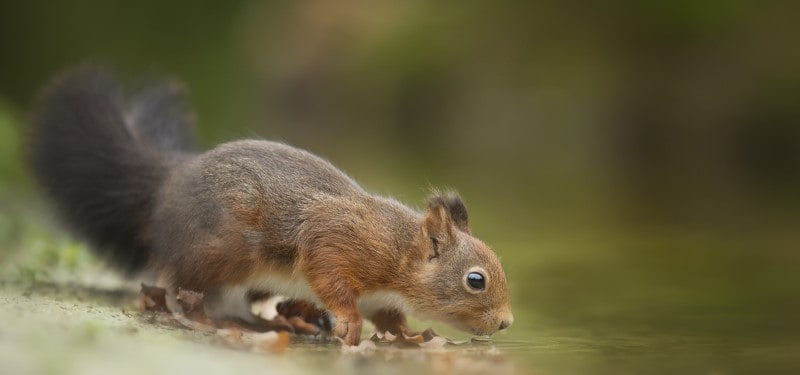 Sqirell drinking water from a lake