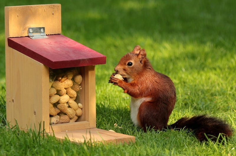 Squirrel eating from a food feeder