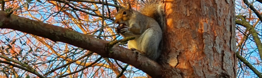 Squirrel eating a wild chestnut in a tree